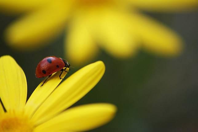 ladybugs-pollen